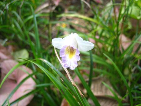 phar0002 Sar02 Arundina species (アルンディナ・スぺシーズ) 学名学名 (ラテン名) : Arundina species (アルンディナ・スぺシーズ)英名 : Mini Bamboo Orchid (ミニ・バンブー・オーキッド)  日本名 :  バリ名 : インドネシア名 : その他の国名 : 科名 : ラン科植生 : 多年草花期 : 乾季原産地 : インド・マレーシア・シンガポールその他のメモ :