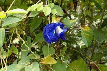 phha3801 Sha38 ブルー・ピー